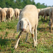 Fun grazing sheep on a meadow — Stock Photo
