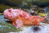 Red scorpion fish — Stock Photo
