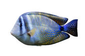 Red Sea Sailfin tang — Stock Photo