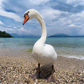 Funny swan on lake — Stock Photo
