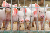 Cute piglets on the farm — Stock Photo