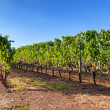 Stock Photo: Vineyard near Montalcino, Tuscany, Italy