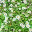 Daisies field in spring — Stock Photo