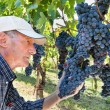 Wine maker checking grapes — Stock Photo
