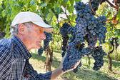 Wine maker checking grapes — Stock Photo