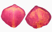 Dried red rose petals — Stock Photo