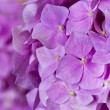 Pink hydrangea as background — Stockfoto