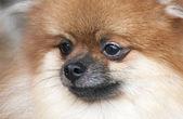 Portrait of pomeranian. Dog show. — Stock Photo