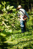 Person working in a fig plantation — Stock Photo