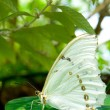 White Morpho Butterfly — Stock Photo #26748839