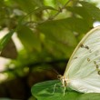 White Morpho Butterfly — Stock Photo #26748909