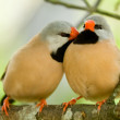 Foto Stock: Cute pair of birds