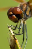 Dragonfly close up — Stock Photo