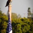 Bald Eagle on flag pole — Stock Photo