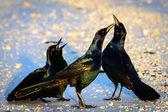 Black birds — Stock Photo