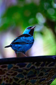Bluebird — Stock Photo