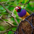 Colorful Gouldian Finch — Stock Photo