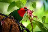 Parrotfinch — Stock Photo
