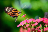 Tiger butterfly — Stock Photo