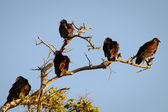Vultures — Stock Photo