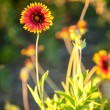 Blanket flowers — Stock Photo