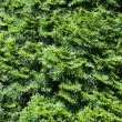 ConiferBushTexture 01 - Stock Photo