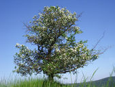 Hawthorntree2 — Stok fotoğraf