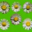 Stock Photo: Daisy Blossoms Green