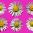 Stock Photo: Daisy Blossoms Pink