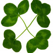 Stock Photo: Luck Clover