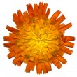 Stock Photo: OrangeHawkweed4