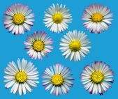 Daisy Blossoms Blue — Stock Photo