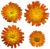 Flores de laranja Hieracium 4 — Fotografia Stock