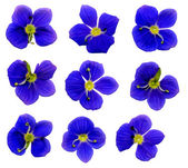 Speedwell Flowers — Stock Photo
