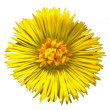 Stock Photo: Coltsfoot Blossom 1