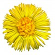 Coltsfoot Blossom 3 — Stock Photo #17180145