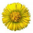 Stock Photo: Coltsfoot Blossom 5