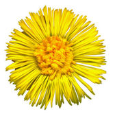 Coltsfoot Blossom 3 — Stock Photo