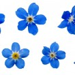 Stock Photo: ForgetMeNotsBlossoms