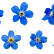 ForgetMeNotsBlossoms - Stock Photo