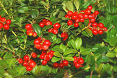 Lingonberries — Foto Stock