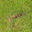 New divot on golf fairway — Stock Photo