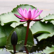 Stock Photo: Purple Lotus Blooming