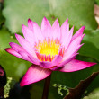 Purple Lotus Blooming — Stock Photo