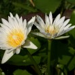 Two White Lotus Blooming — Stock Photo