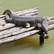 Monitor Lizard resting on raft — Stock Photo #23870719