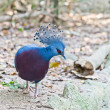 Victoria Crowned Pigeon in a park - Stock Photo