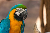 "Blue and Gold macaw, Scientific name ""Ara ararauna"" parrot bird — Stock Photo"