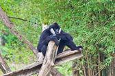 White handed Gibbon or Lar Gibbon — Stock Photo