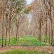 Rubber plantation in Thailand — Stock Photo